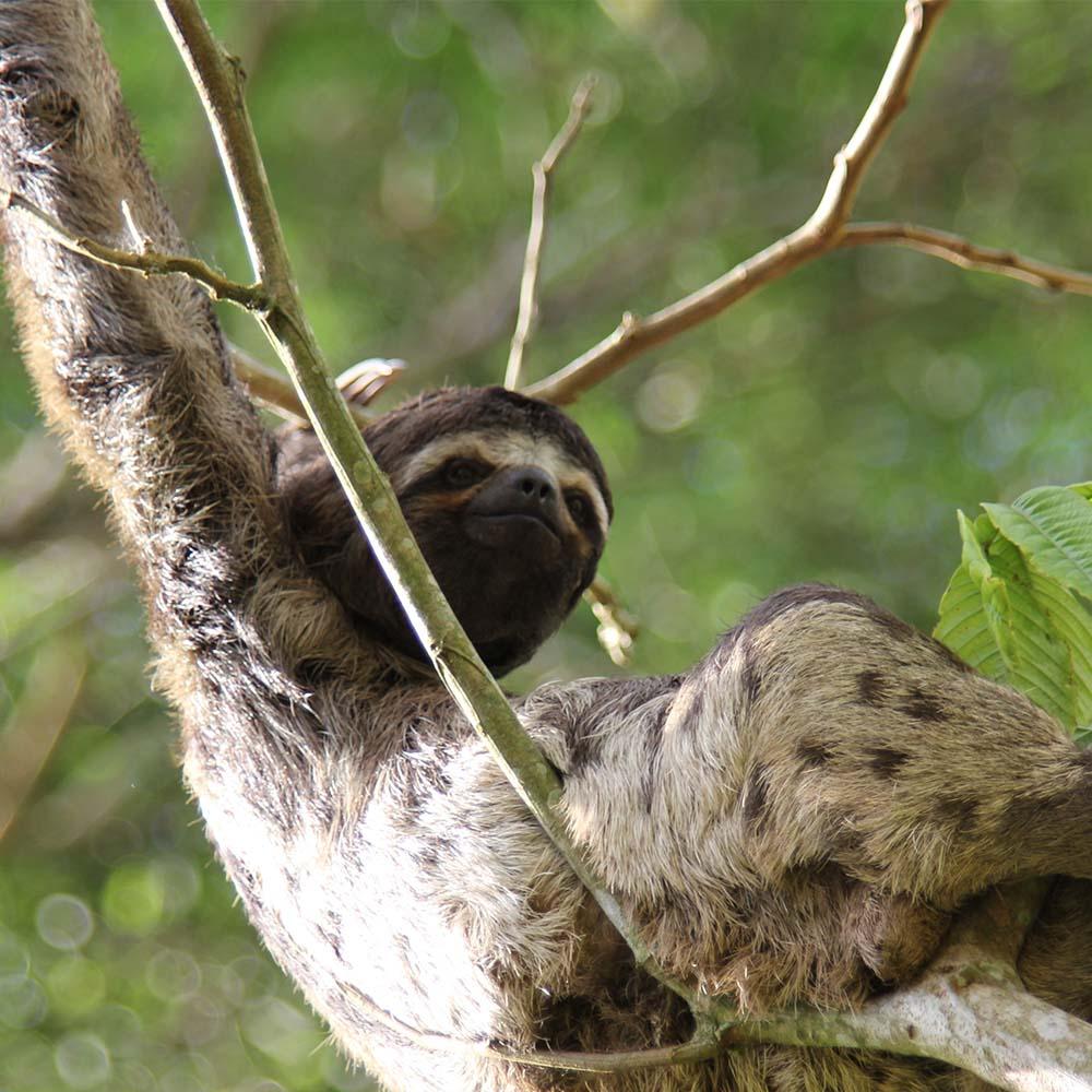 Oso perezoso-Selva-Iquitos-Peru
